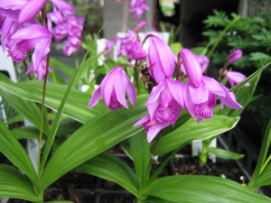Hardyorchid